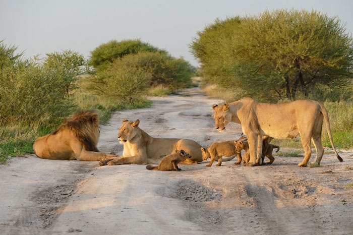 121415-Lion-Lioness-Walk-Up-To-An-Injured-Fox-2