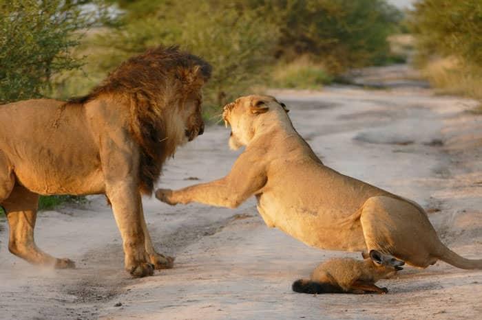 121415-Lion-Lioness-Walk-Up-To-An-Injured-Fox-3