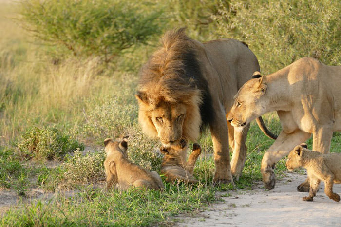 121415-Lion-Lioness-Walk-Up-To-An-Injured-Fox-4
