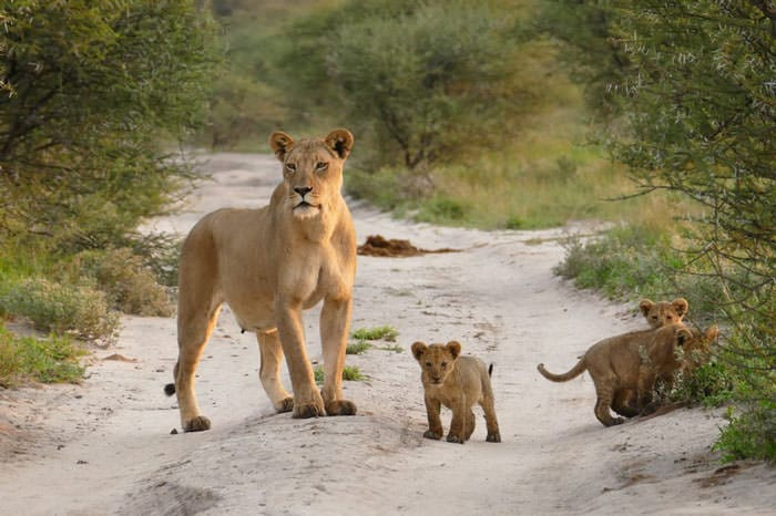 121415-Lion-Lioness-Walk-Up-To-An-Injured-Fox-5