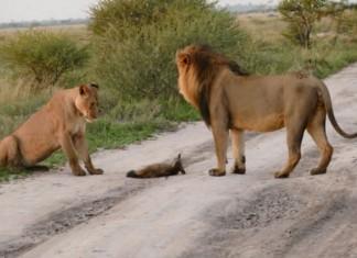 121415 lion lioness walk up to an injured fox featured