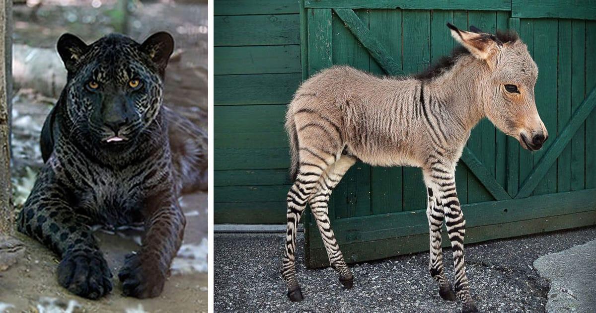 18 animaux hybrides dont on a du mal imaginer l 39 existence. Black Bedroom Furniture Sets. Home Design Ideas
