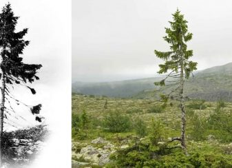 123015 9500 year old tree in sweden featured