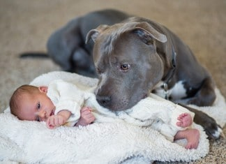 010416 pit bull and girl amazing bond featured