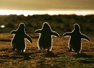 012116 20 pics penguin awareness day featured