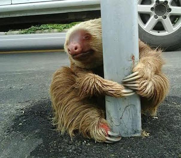 012716-Cop-Saves-Terrified-Sloth-Highway-5