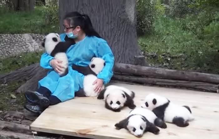 le meilleur travail au monde cette femme serre des pandas dans ses bras a longueur de journ e. Black Bedroom Furniture Sets. Home Design Ideas