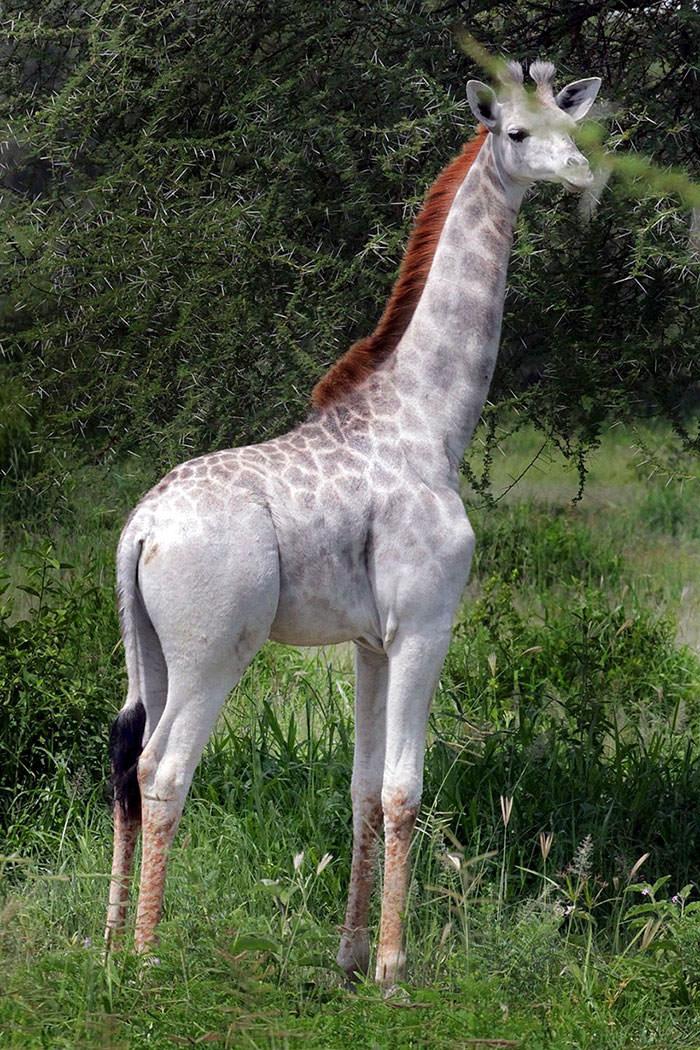 122716-Rare-White-Giraffe-Tanzania-1