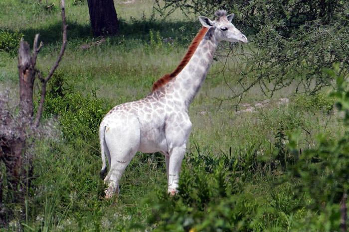 122716-Rare-White-Giraffe-Tanzania-2