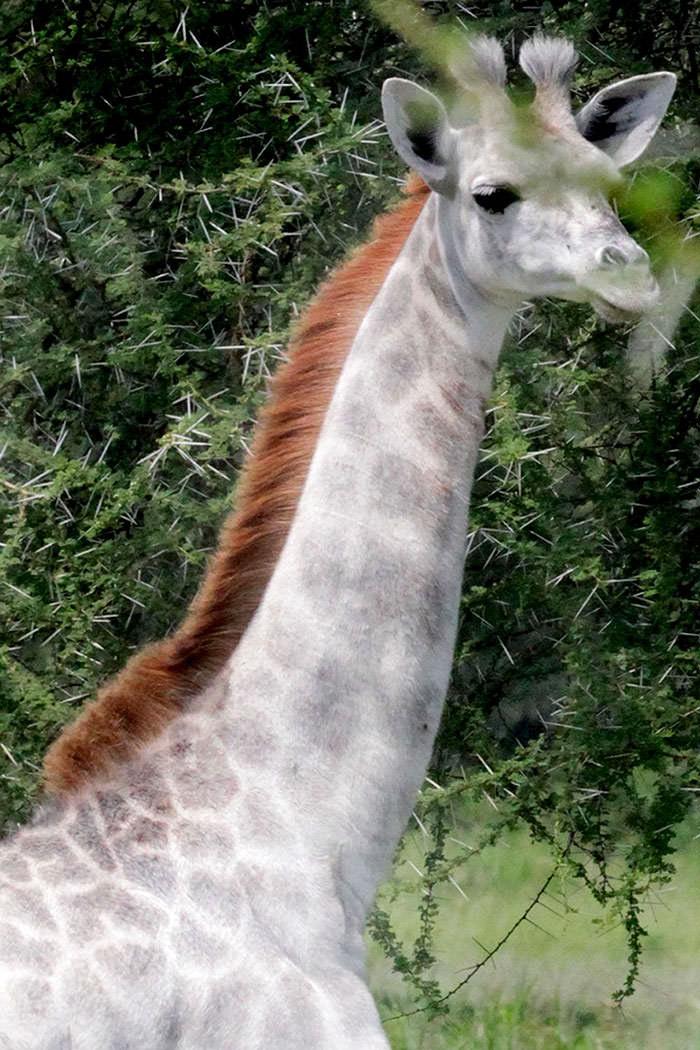 122716-Rare-White-Giraffe-Tanzania-3