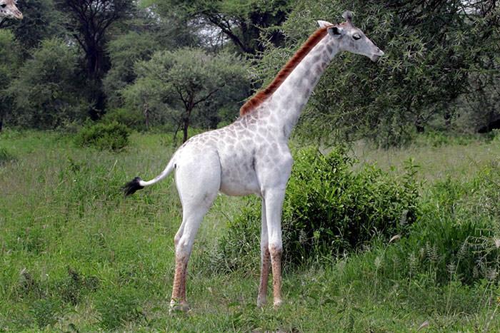122716-Rare-White-Giraffe-Tanzania-4