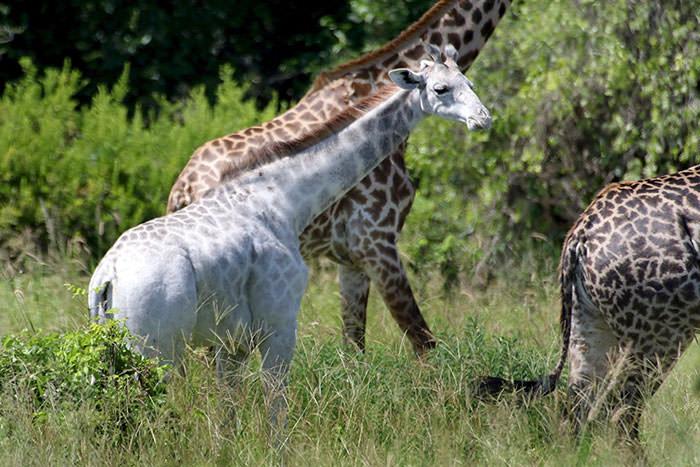 122716-Rare-White-Giraffe-Tanzania-5