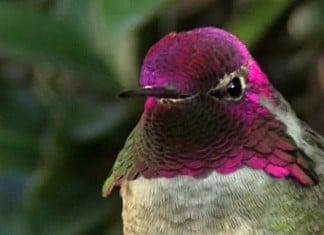 Ce colibri est superbe mais f