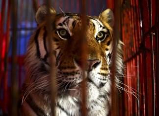 Les cirques avec animaux sauvages f