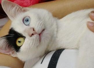 Une chatte de refuge sassoit f