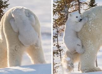 13 adorables bébés ours polaires f
