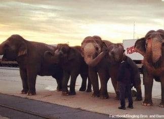 Les Éléphants de cirque commencent f