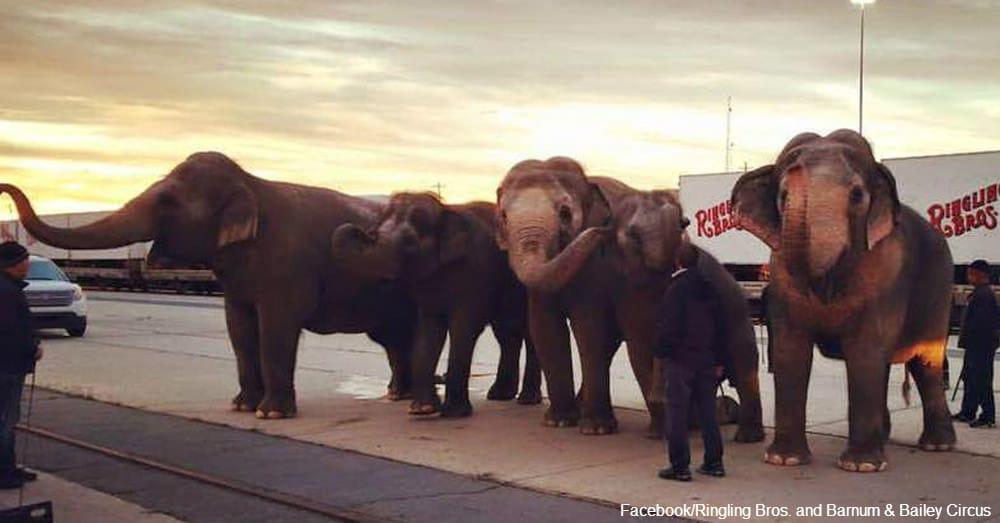 Les_Éléphants_de_Cirque_Commencent-f