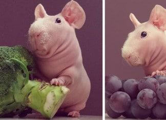 Un cochon dinde pose nu f