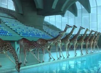 Girafes alignees au bord de la piscine fv2