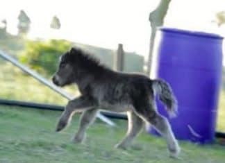 Ce cheval miniature court dans f
