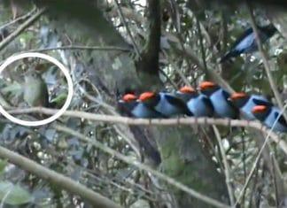Ces oiseaux bleus salignent tous f