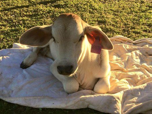 Cette_vache_pense_être_l'un-07