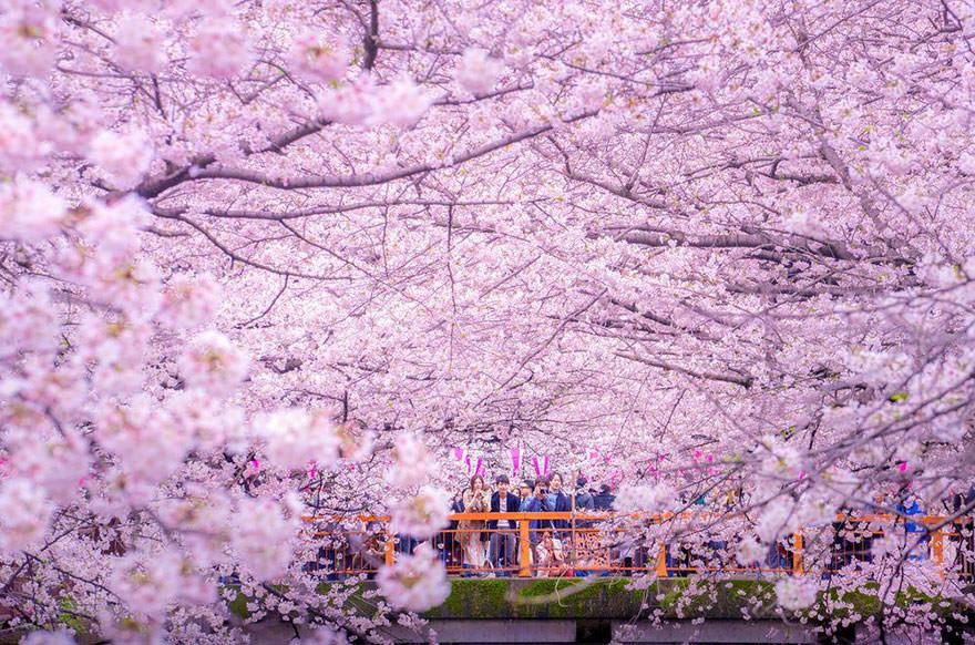 Des_cerisiers_en_fleurs_colorent-03