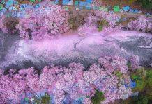Des cerisiers en fleurs colorent f