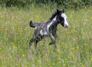 Microdave le cheval fv2