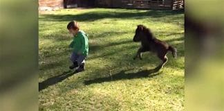 Un cheval miniature poursuit le f