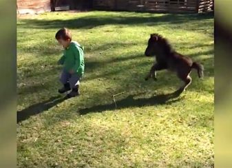 Un cheval miniature poursuit le f