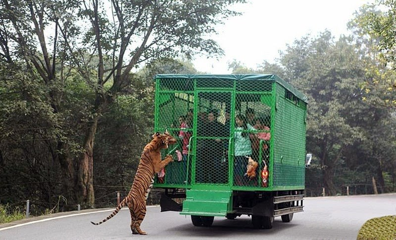 Un zoo chinois enferme ses 04