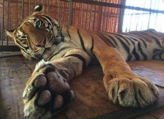 Ce tigre a passe des annees en cage fv2