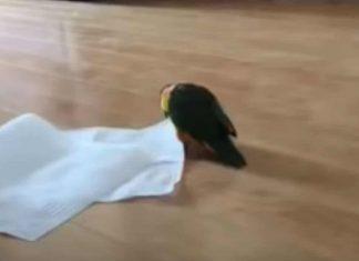 Perroquet decouvre une feuille fv2
