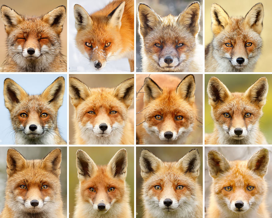 Faces_of_Foxes_un_photographe-01