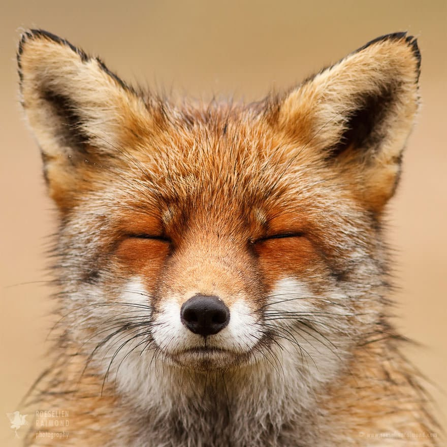 Faces_of_Foxes_un_photographe-02