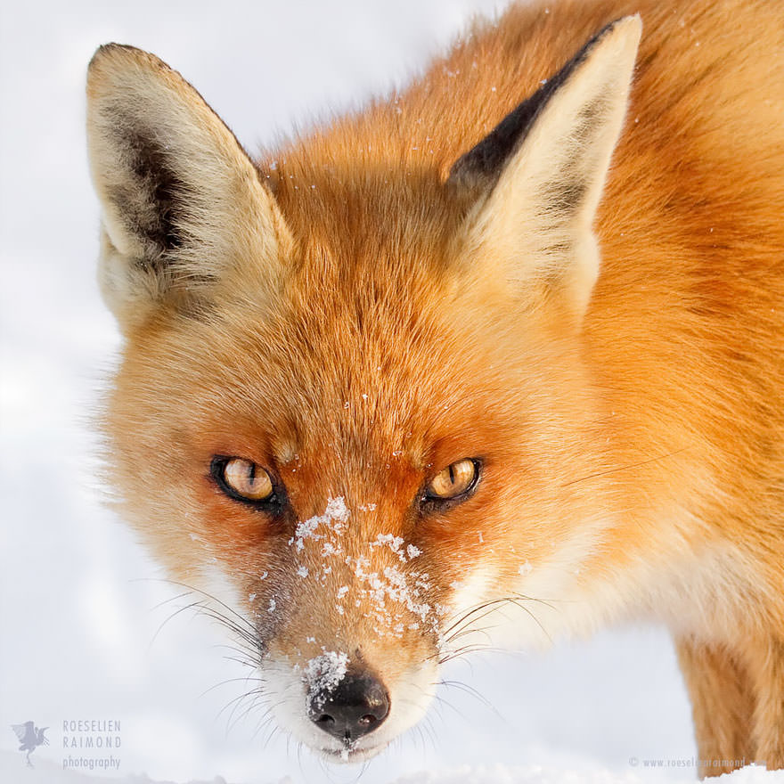 Faces_of_Foxes_un_photographe-03