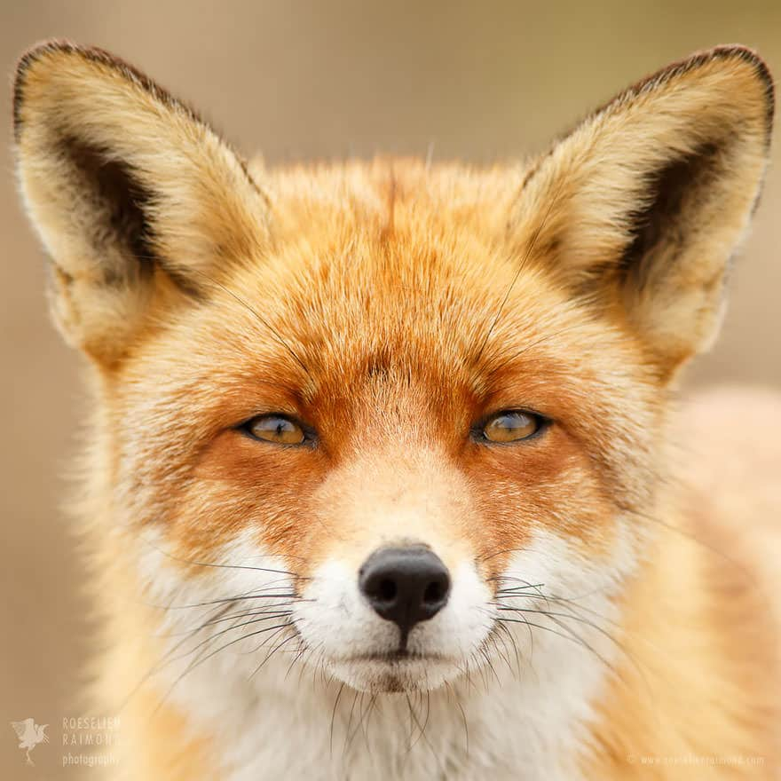 Faces_of_Foxes_un_photographe-04