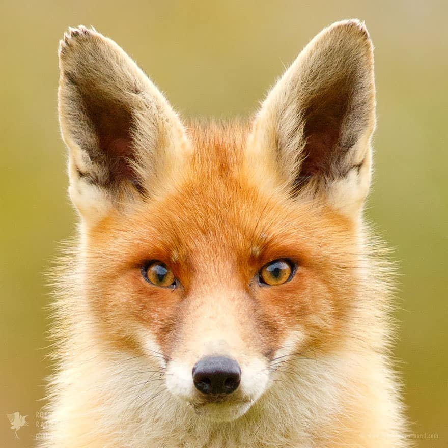 Faces_of_Foxes_un_photographe-06