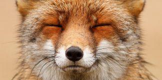 Faces of foxes un photographe f