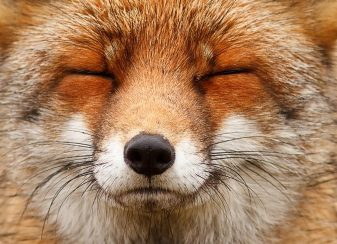 Faces of foxes un photographe f