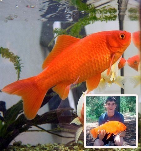 how to tell if a goldfish is male or female