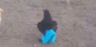 Ce poulet qui porte un f
