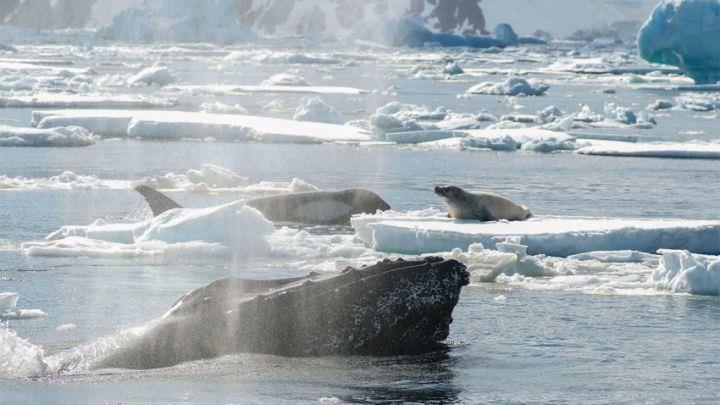 Des baleines à bosse protègent f