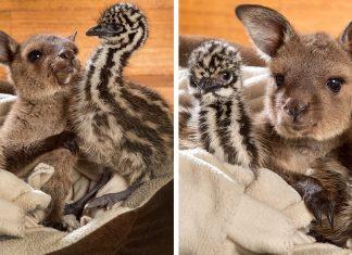 Un bébé kangourou câline des f