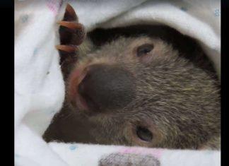 Ces petits koalas ont ete trouves seuls fv2