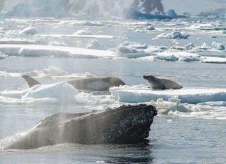Des baleines a bosse protegent dautres fv2