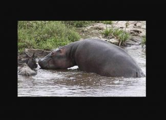 Regardez cet heroique hippopotame sauver fv2