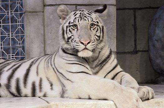 les_tigres_blancs_de_laquarium-05